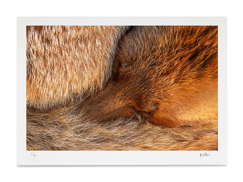 Image of Sleeping Fox