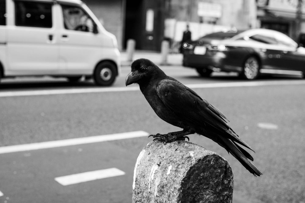 "Image of Crow Watching, Tokyo - 11"" x 16"""
