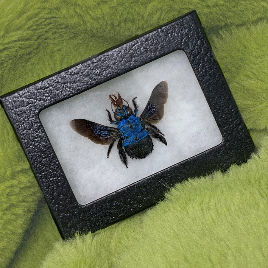 Image of Rare Blue Carpenter Bumble Bee | Cruelty Free
