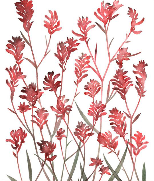 Image of Greeting Card - Kangaroo Paw 2
