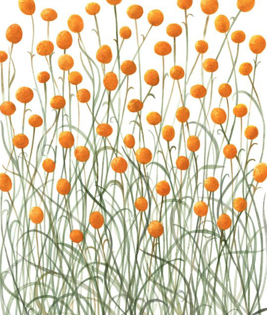 Image of Greeting Card - Billy Buttons