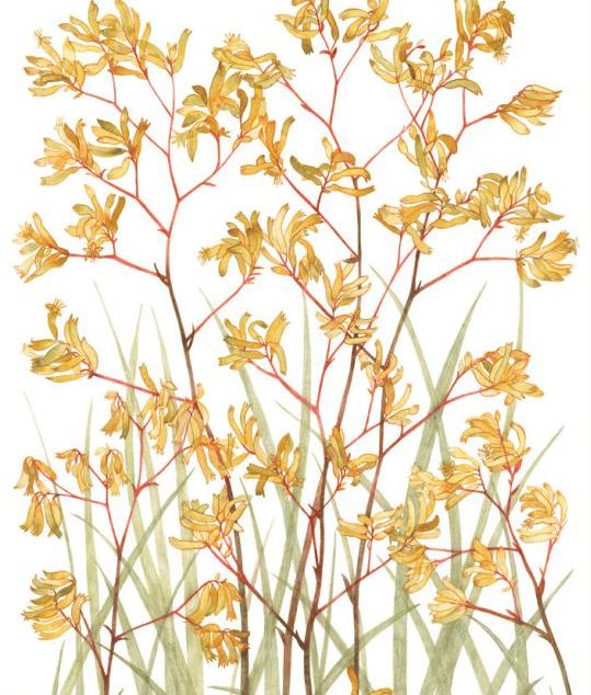 Image of Greeting Card - Yellow Kangaroo Paw