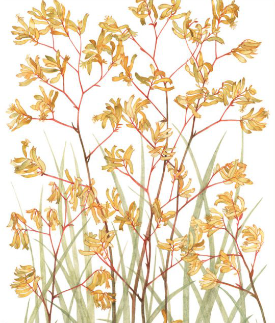 Image of Greeting Card - Yellow Kangaroo Paw