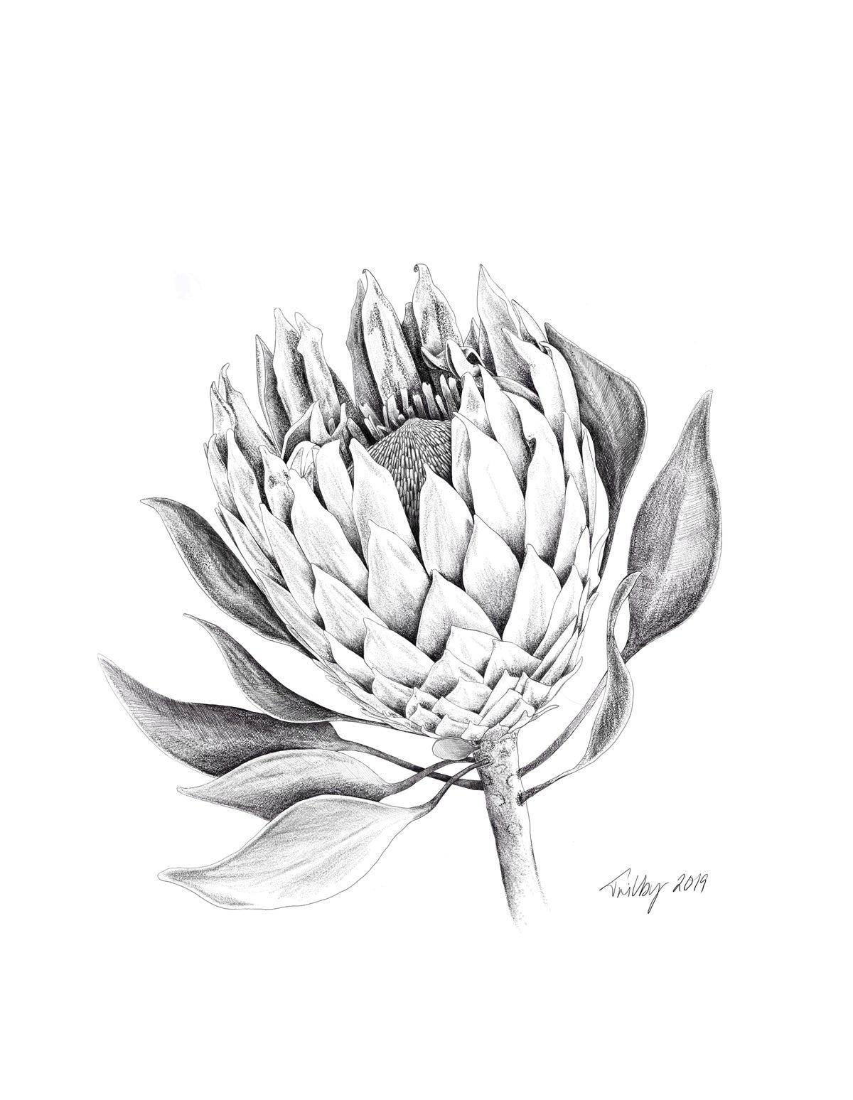 Image of Botanicals - King Protea