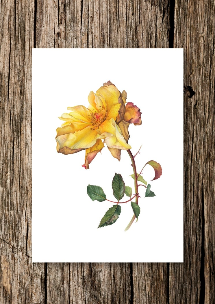 """October Sun"". Fine art print of a fading yellow rose watercolor painting."