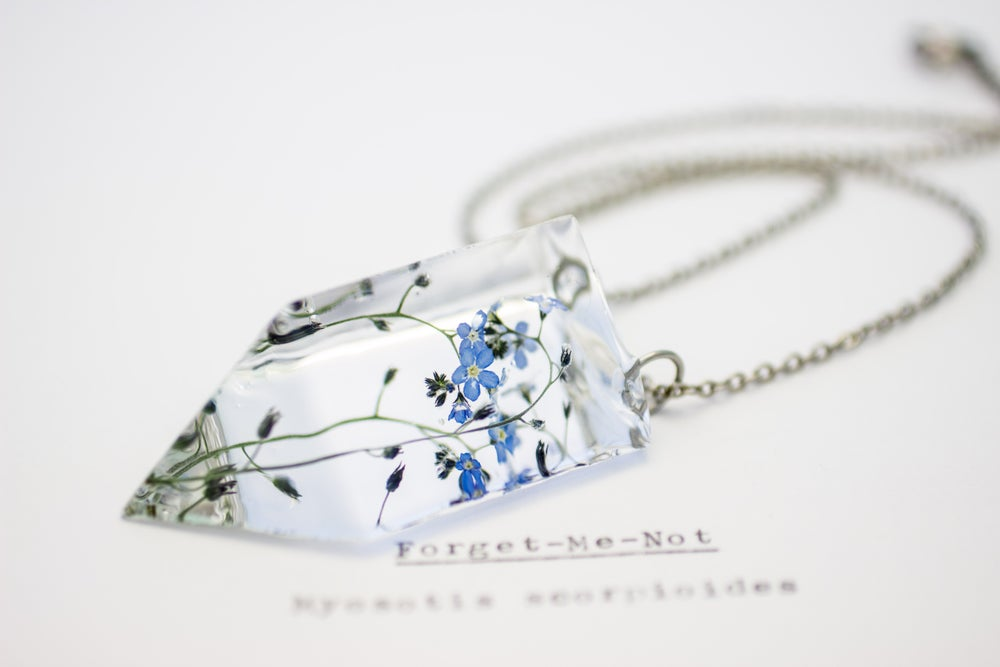Image of Forget-Me-Not (Myosotis sylvatica) - Small #1