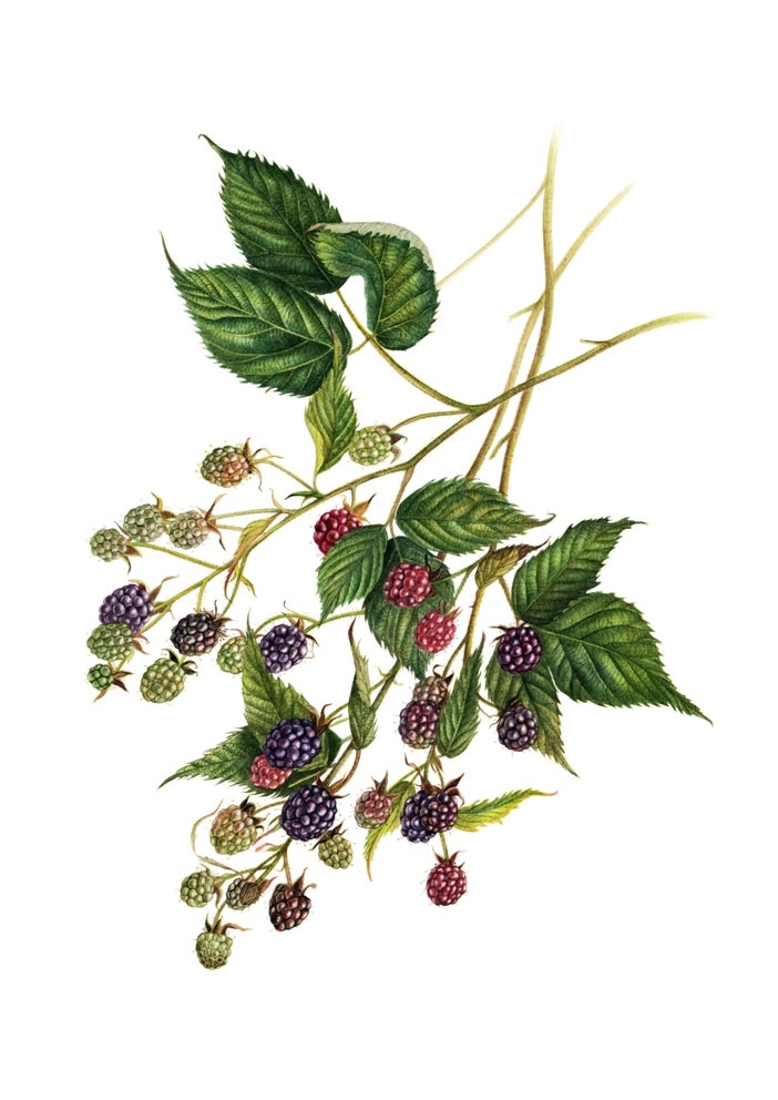 """Blackberries"". Fine art print of a botanical watercolor painting."