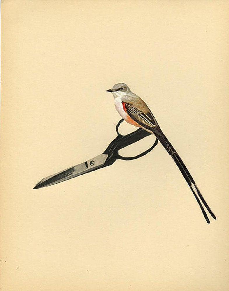 Image of Scissor tail. Limited edition collage print.