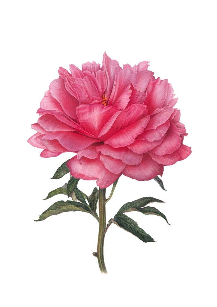 """Coral Charm"". Fine art print of a blooming peony watercolor painting."