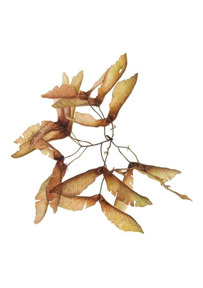 """Subtle Waltz"". Botanical fine art print of a maple seeds painting."