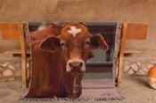 Image of Tex - Steer Tapestry Throw Blanket