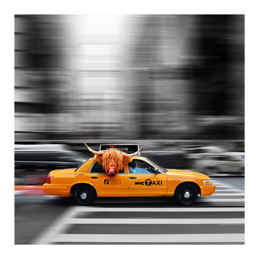 Image of Taxi Passenger - Highland Cow Art Print