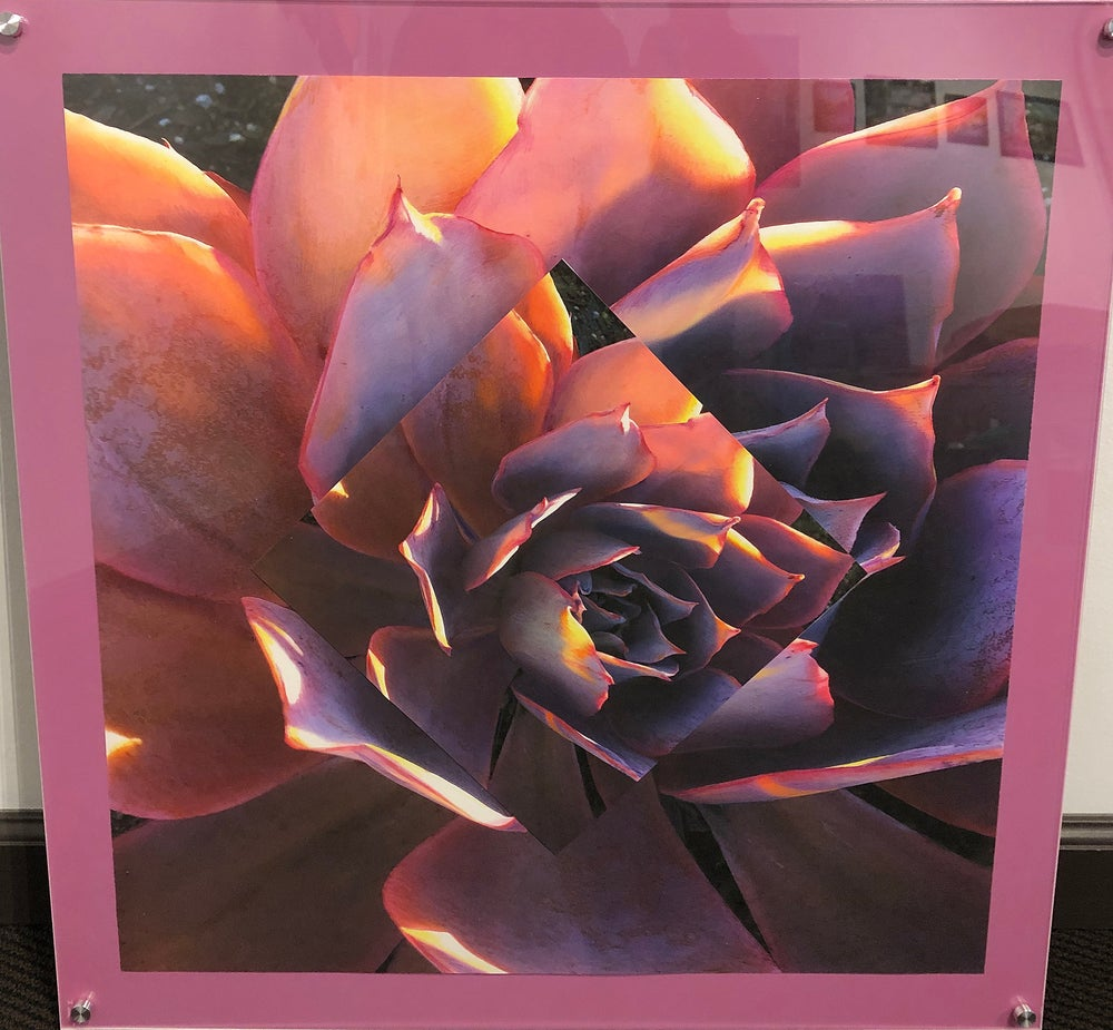 "Image of Pink and Purple Echeveria 24""x24"""