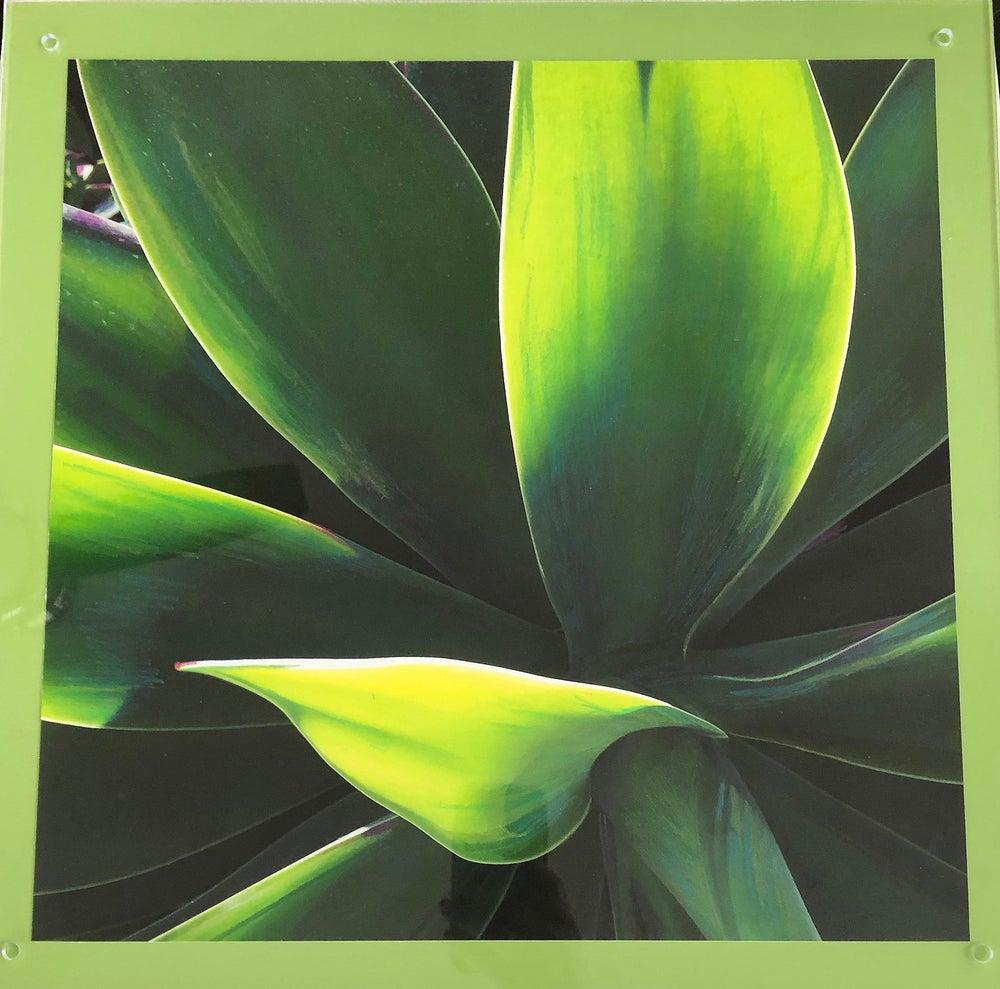 """Image of Agave in the Sun  16""""x16"""""""