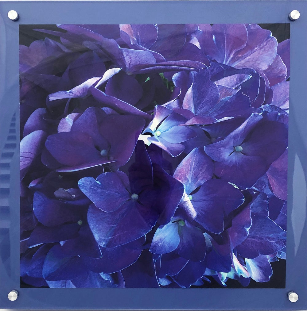 "Image of Purple Hydrangea 16""x16"""