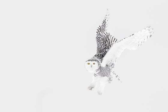 Image of Limited Edition Fine Art Print - Snowy Owl