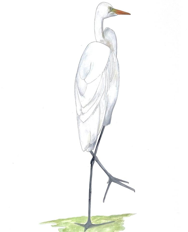 Image of The Strolling Egret