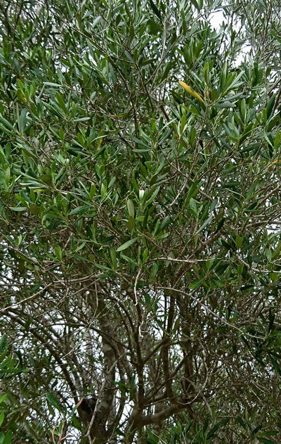 Image of Bunch of 5 fresh premium olive branches
