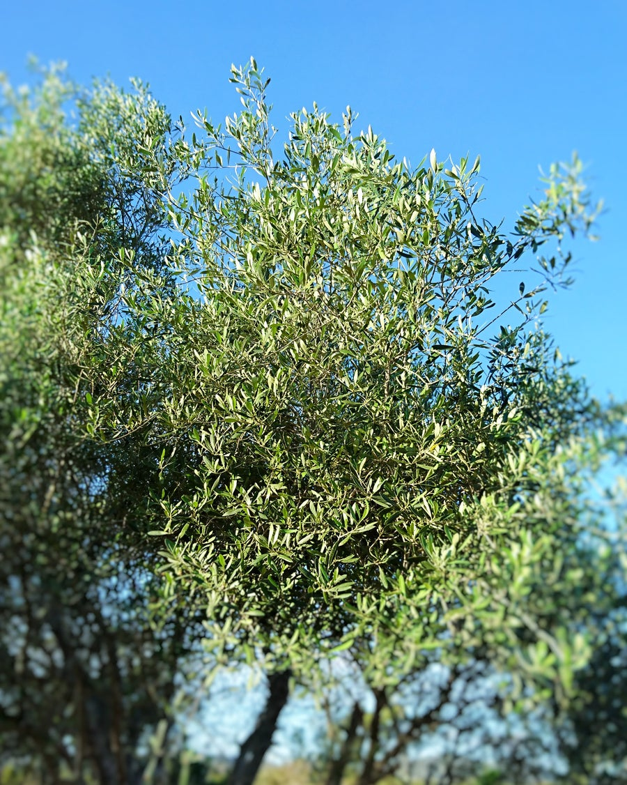 Image of FRESH Olive Tree Leaves Tea*Olea Europaea Organic* antiviral immune booster 100g