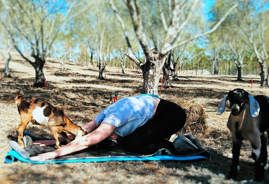 Image of Goat Yoga Animal Assisted Therapy