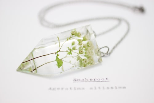 Image of Snakeroot (Ageratina altissima) - Small #1