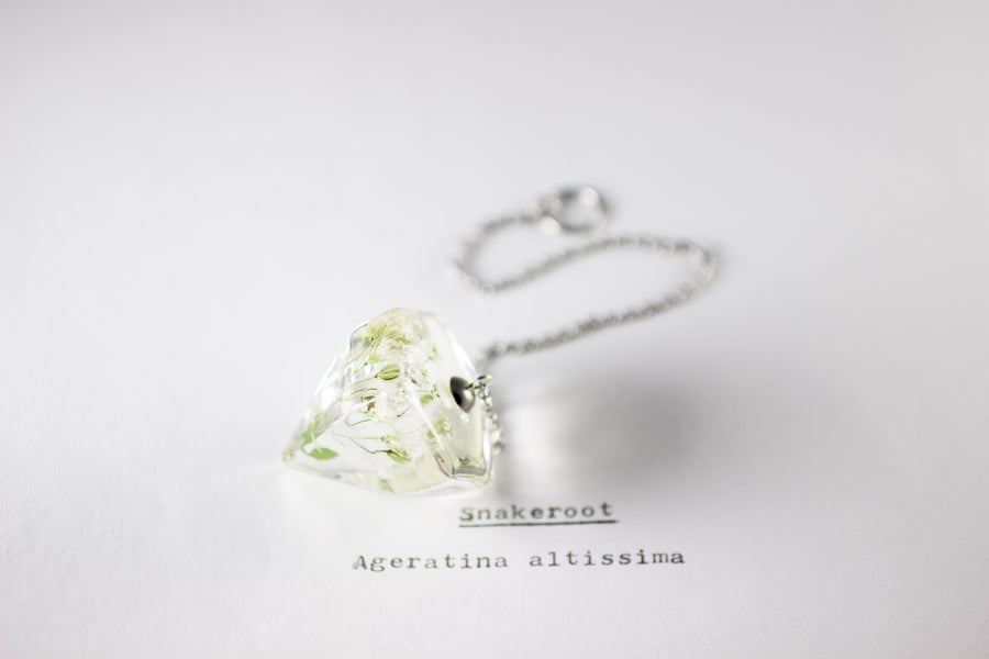 Image of Snakeroot (Ageratina altissima) - Pendulum #1