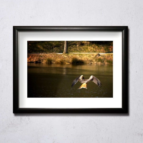 Image of Red Kite From Back A4/A3 photographic print