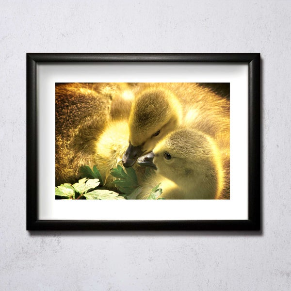 Image of Chicks Huddled A4/A3 photographic print