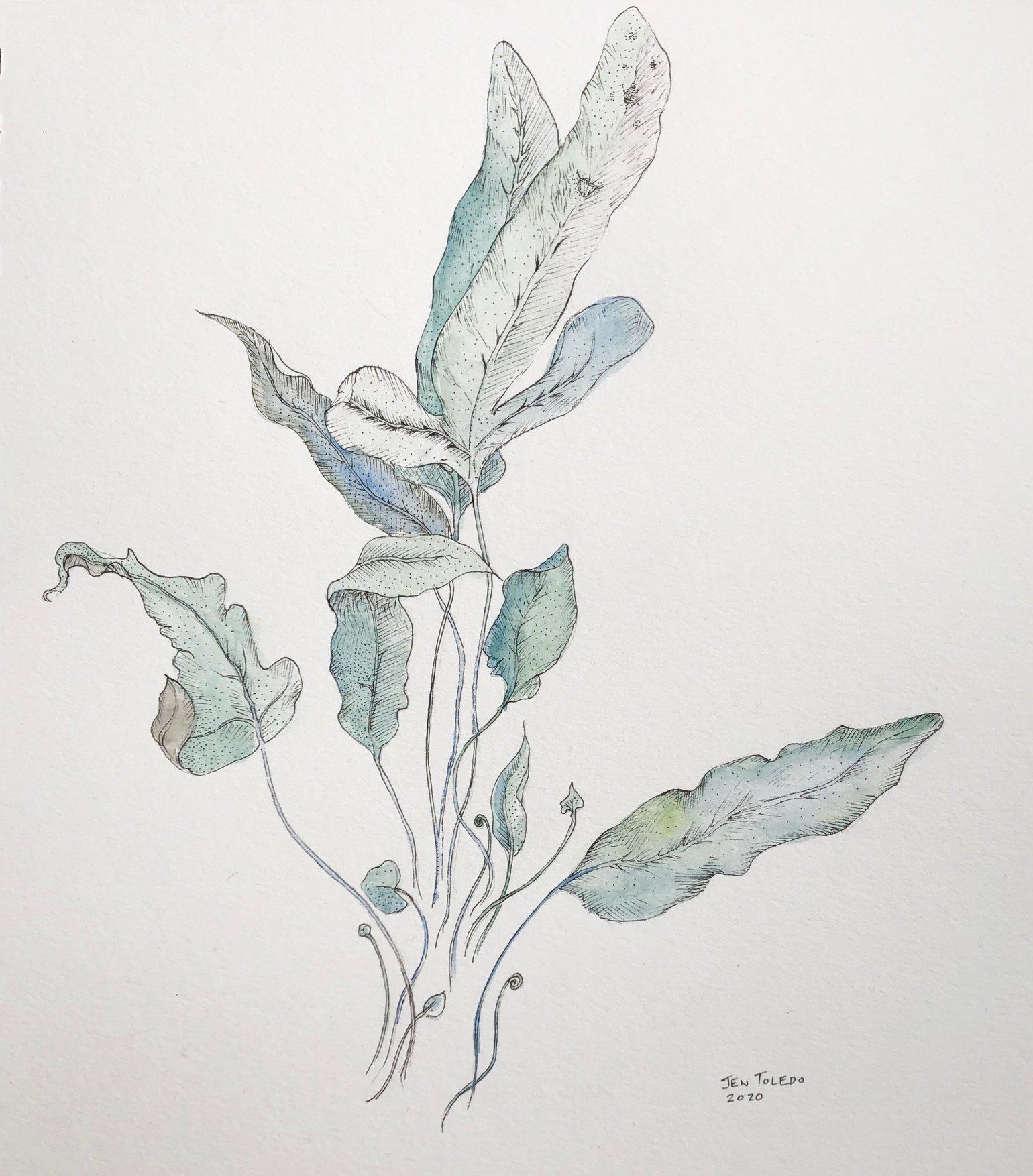 Image of Blue Star Fern