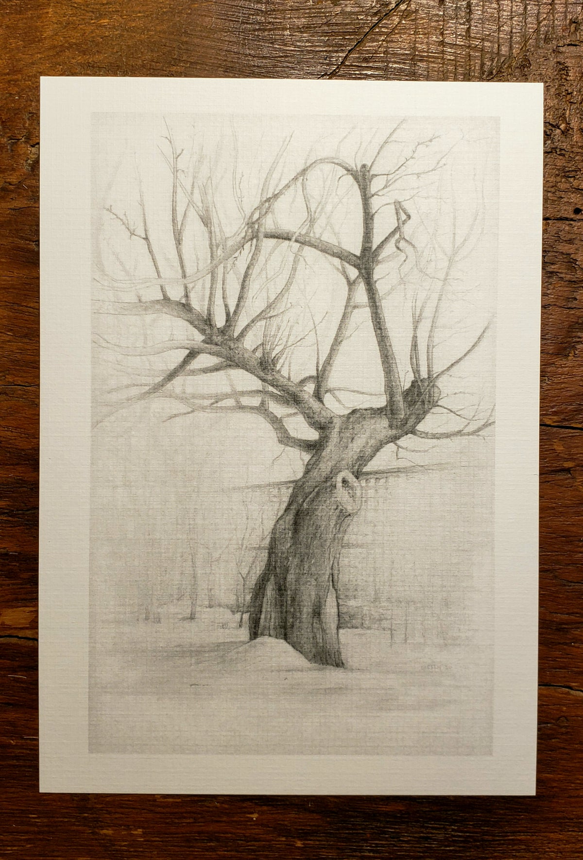 Image of Study of an Old Apple Tree - print of original pencil drawing
