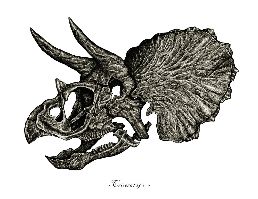 Image of Triceratops Skull