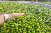 Image of Organic Chetoui Extra Virgin Olive Oil
