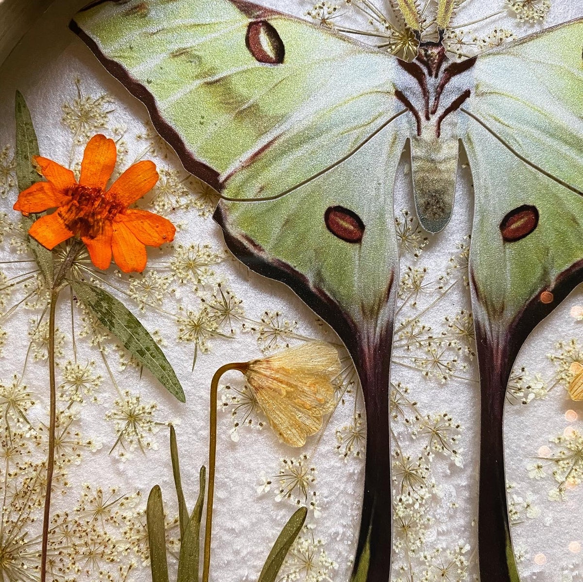 Image of Framed Resin Curio - Moon Moth and Leaf Insect