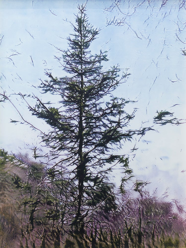 Image of Spruce at Dusk