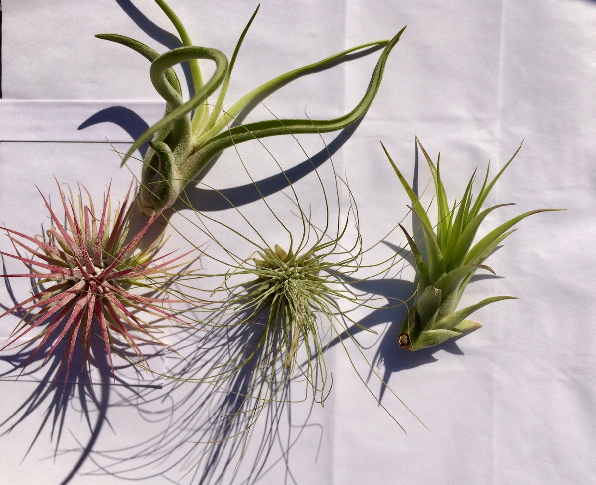 Image of Tillandsia group special