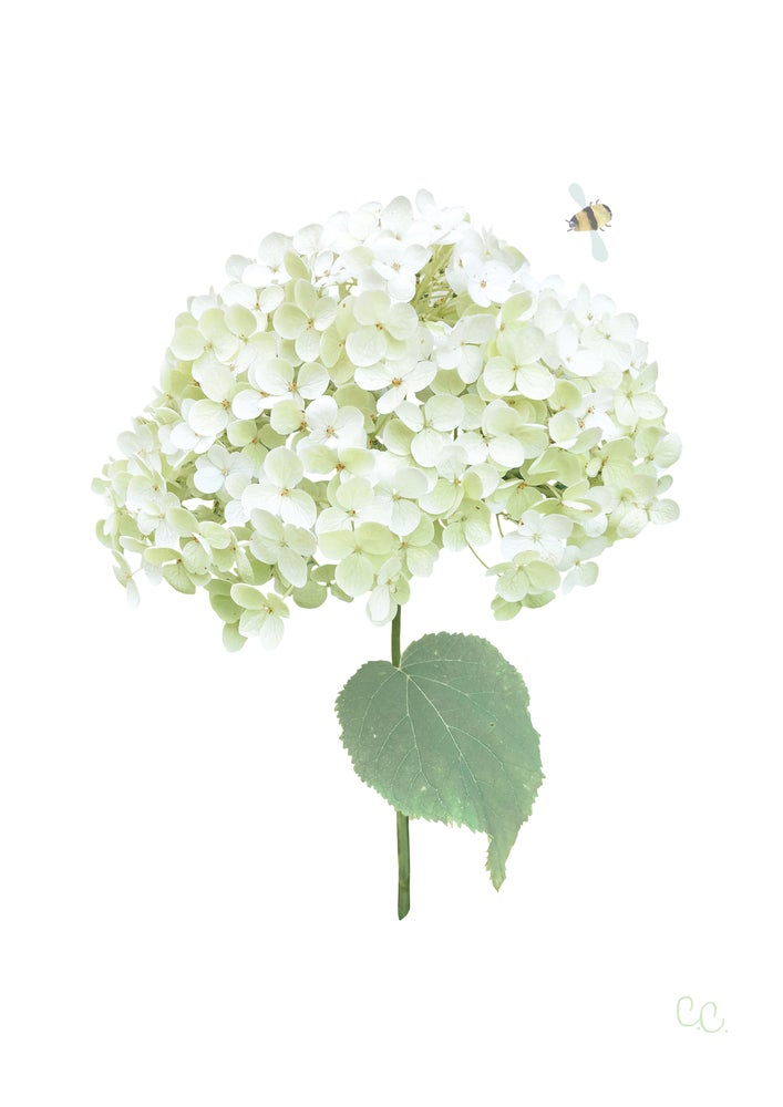 Image of White Green Hydrangea