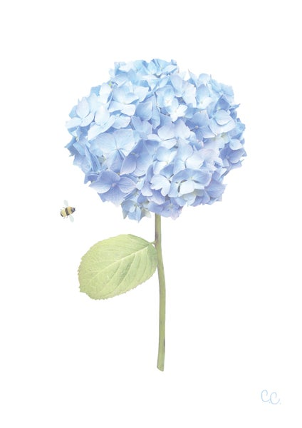 Image of Long Stem Blue Hydrangea Print