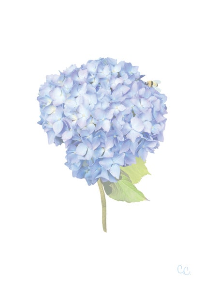 Image of Short Stem Blue Hydrangea Print