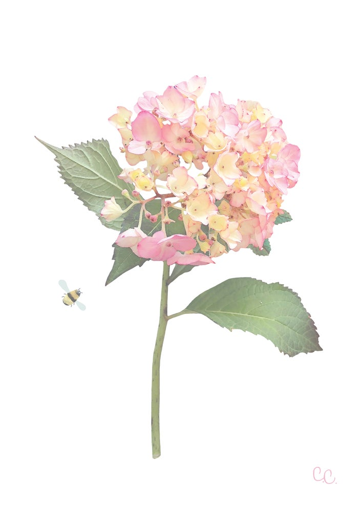 Image of Pink Hydrangea Print