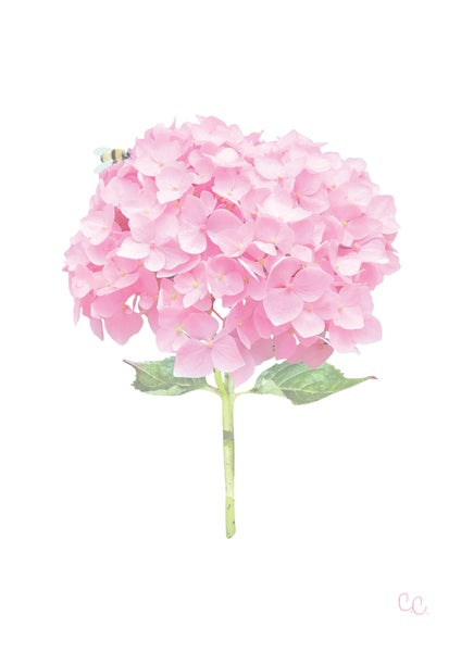 Image of Candyfloss Pink Hydrangea Print
