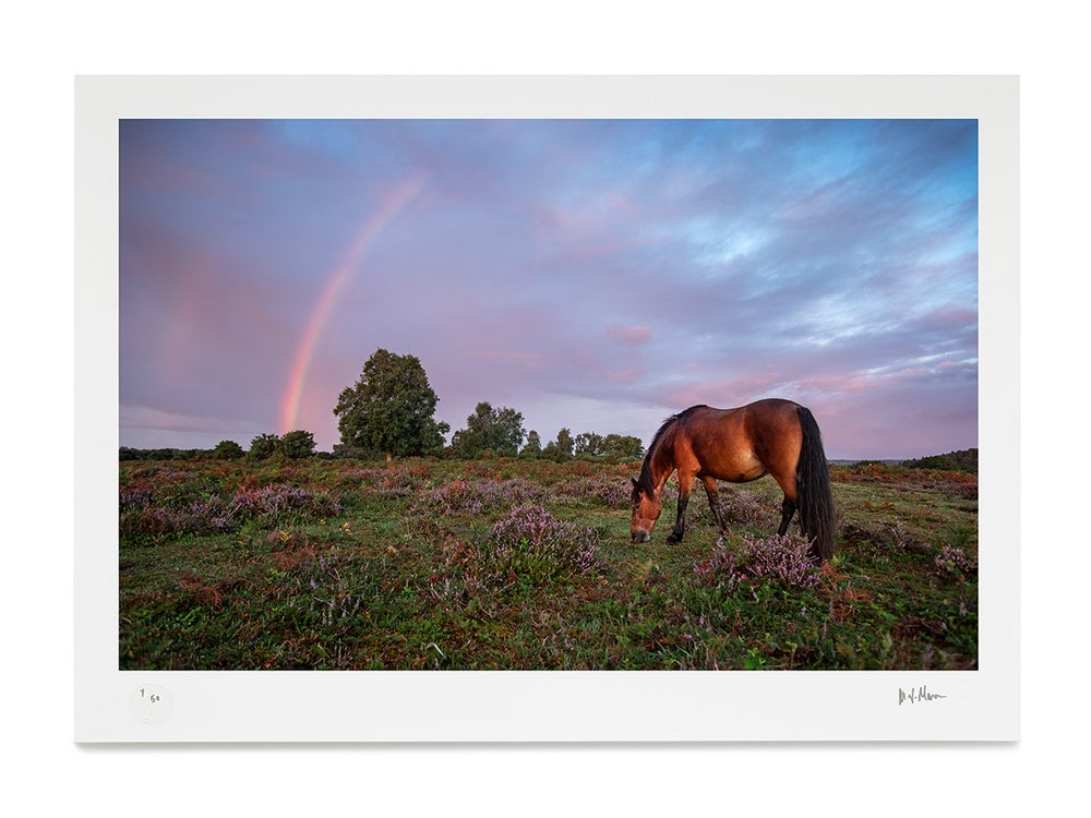 Image of New Forest Pony