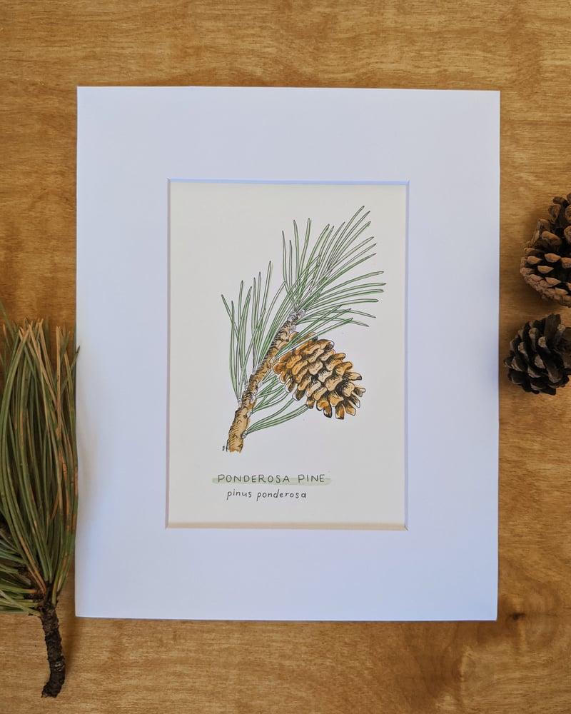 Image of Ponderosa Pine Drawing and Watercolor