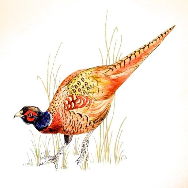 Image of Pheasant Greeting Card