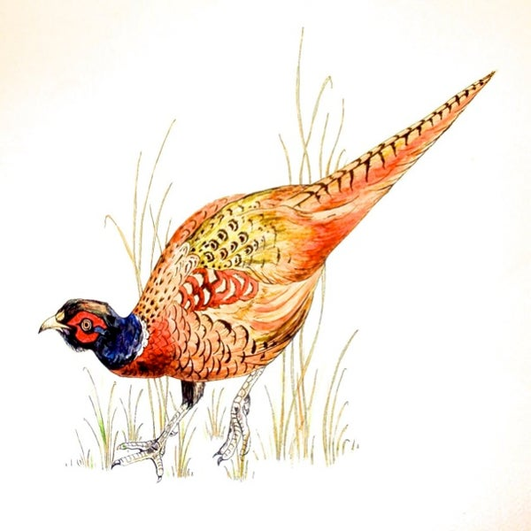 Image of Pheasant Greeting Card
