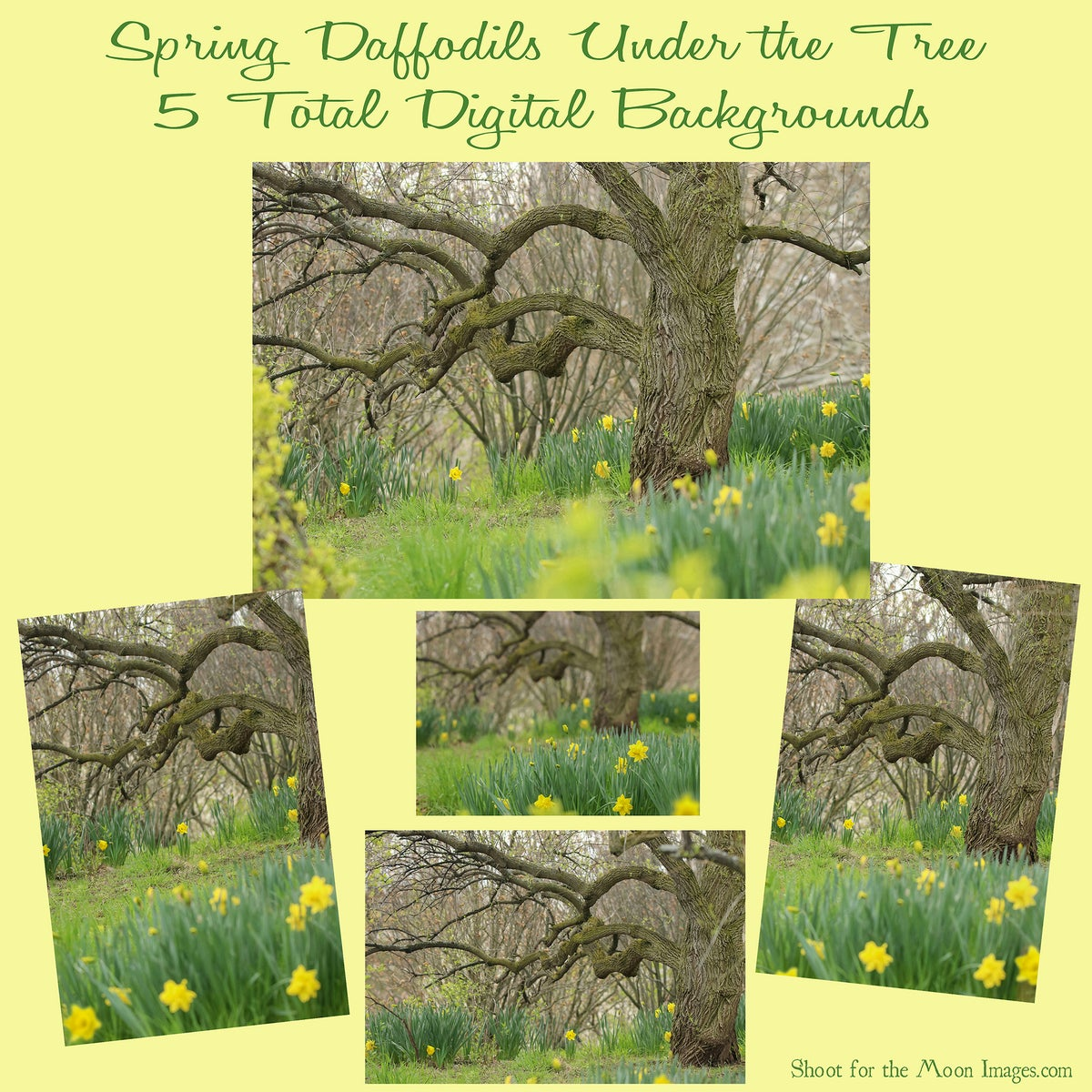 Image of Spring Daffodils Under the Tree Digital Backgrounds