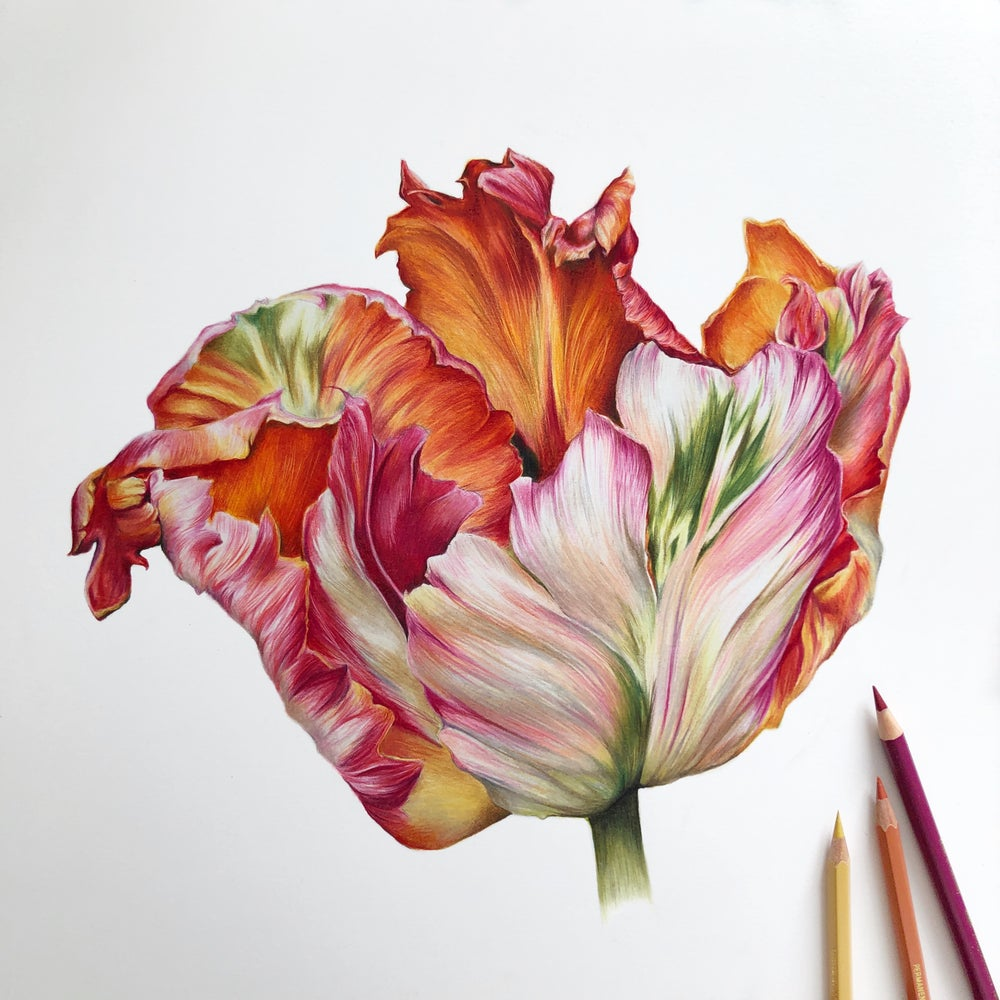 Image of 'Apricot Tulip' Limited Edition Print