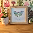 Image 1 of Framed Luna Moth (small, matted)