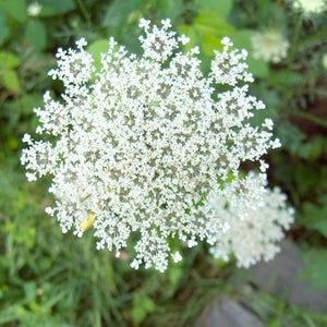 Image of WILD CARROT SEEDS
