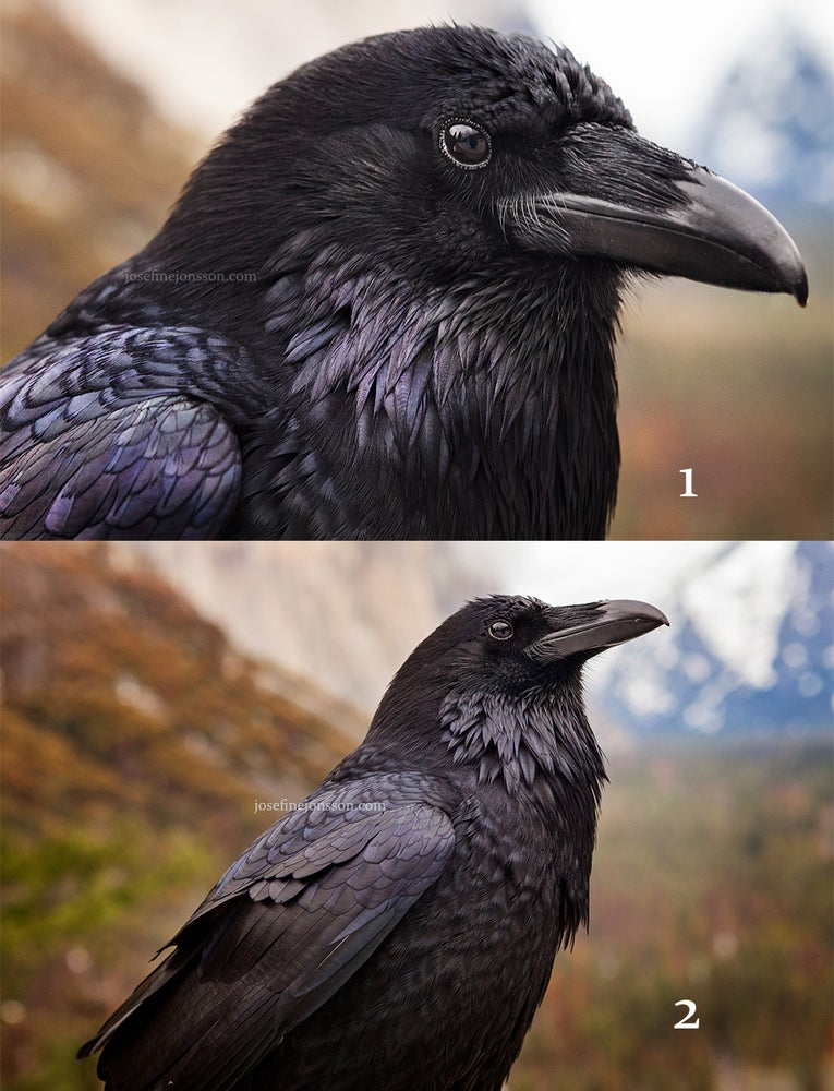 Image of High quality print ravens 50x70 or 70x100cm