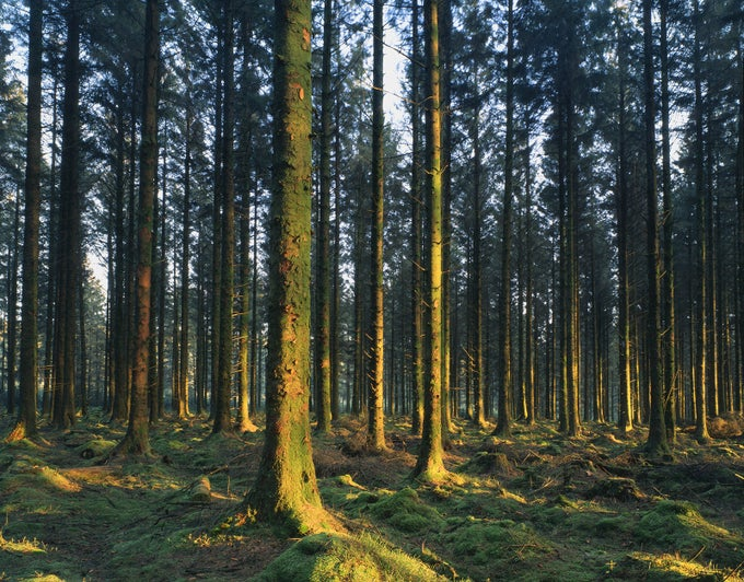 Image of Bellever Forest